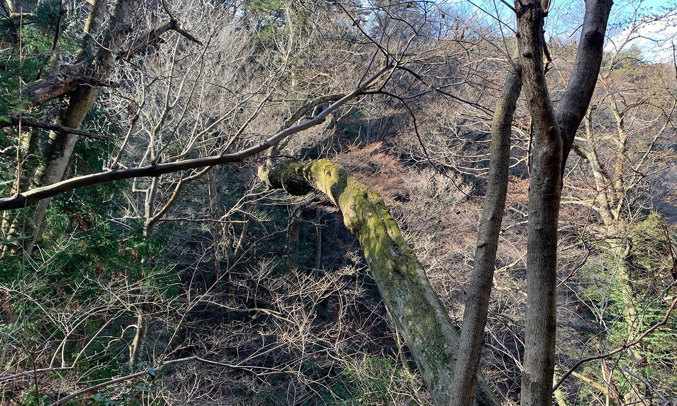 みやま橋を超えると斜めに木が生えている所もあってとても神秘的です